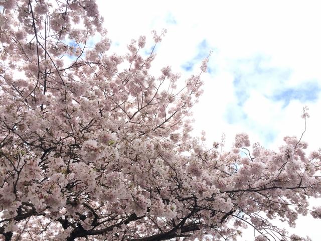 Portlandに桜です^^